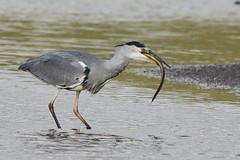 Heron Eel 6 (Ged Gill) Tags: leightonmoss eel heron slippery feeding