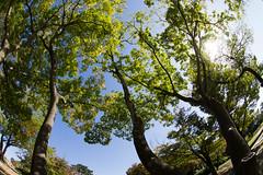 Leaves under Clear Sky (nak.viognier) Tags: leaves clearsky ryokuchipark osaka 緑地公園 olympusepl3 lumixgfisheye8mmf35