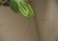 DSC_1944 (xav_roberts) Tags: nikonv1 amateur entomology animal inset mantid green mantis praying