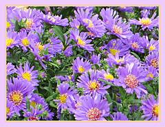 Autumn Asters (bigbrowneyez) Tags: flickrblossoms autumnasters bright delightful gorgeous fancy delicate colourful colori belli fiori natura nature bellissime frame cornice purple green fall ottono lovely pretty petals dof details favourite favorites special tiny asters