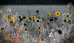 Sunflower Field Art (The Rustic Frog) Tags: sunflower field art warwickshire uk england midlands flora sun flowers sunflowers canon eos digital camera 7d mark ii 2 lens 100400mm light sunset summer evening weeds plants