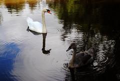 Swan Family (Sarah Cowan's mix of photo love) Tags: swans cygnet family swan