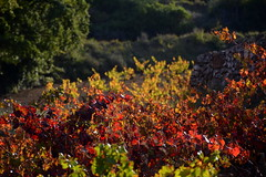 Vinyes de Tardor, el Pla de Manlleu. (Angela Llop) Tags: catalonia spain autumn winelovers plademanlleu vineyards