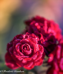 light of Autumn (frederic.gombert) Tags: rose light sun sunlight flower flowers red pink color colors macro nikon d810