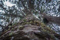 Waiau Grove Walk Kauri Trees-2