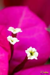 bougainvilleaPink.jpg (raysul) Tags: flower macro flowerphotography floralart closeup depthoffield decorative beautyinmacro