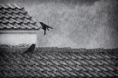 crows on the storm (valerio valeri) Tags: valerio valeri nikon blackandwhite biancoenero rain crow
