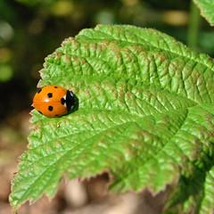 Coccinelle, demoiselle ... (Claudia Sc.) Tags: provence france coccinelle insecte faune