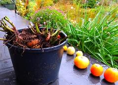 alle Dahlienwurzeln rausgeholt (Sophia-Fatima) Tags: mygarden meingarten dahlienwurzeln rootsofdahlia dahlien
