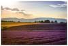 Les Grandes Marges V (::YS::) Tags: yann savalle yannsavalle sony alpha700 yasa valensole france provence les grandes marges domaine lavande lavandin lesgrandesmarges jaubert françoise lavender