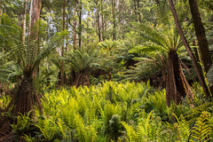 Choreographed by nature (shyamgn) Tags: forest green ferns trees nature mountworthstatepark westgippsland victoria sigma1750 canon70d