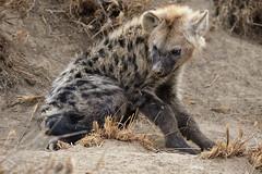 Juvenile Hyena (crafty1tutu (Ann)) Tags: travel holiday southafrica africa 2016 motswariprivategamereserve animal hyena juvenile wild inthewild free roamingfree crafty1tutu canon7dmkii ef100400mmf4556lisiiusm anncameron naturethroughthelens