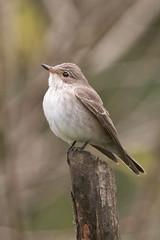 Spotted Flycatcher - Muscicapa striata - Grgrpur (*Jonina*) Tags: iceland sland stodvarfjordur stvarfjrur birds fuglar spottedflycatcher muscicapastriata grgrpur jnnagurnskarsdttir