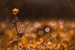 Bokeh Party (Sascha Wolf) Tags: trioplan bokeh bubble kringel butterblume wiese sonnenaufgang reif party pentacon projektorlinse