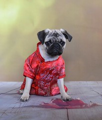 Happy Chinese New Year! The Year Of The Dog (DaPuglet) Tags: pug puppy dog kimono chinese chinesenewyear chinesepug cute animals pets leaf fall autumn boothepug dapuglet fashion pugs dogs pet animal new year bokeh coth5