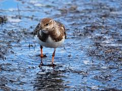 Ruddy turnstone (Hone Morihana) Tags: westerntreatmentplant shorebirds migratorybirds ruddy turnstone