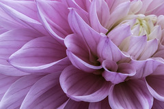 296/366: The scoop (judi may - more off than on) Tags: 366the2016edition 3662016 day296366 22oct16 dahlia pink pinkdahlia flower petals surrey canon7d macro rhswisley