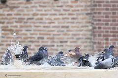 Lekker badderen (willynihotfotografie) Tags: duiven albi badderendeduiven