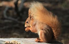 Red Squirrel - Brownsea Island Dorset - 040516 (60) (ailognom2005-Catching up slowly.) Tags: redsquirrels brownseaisland dorsetwildlife dorset mammals uk