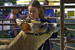 Cow Contestant (swong95765) Tags: cow bovine animal woman female contestant lady statefair alert