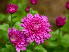 More hardy mums in my garden (lovesdahlias 1) Tags: chrysanthemums perennials flowers blossoms gardens nature fall newengland