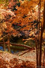 161011-14 L'heure Orange (clamato39) Tags: parcchauveau villedequbec provincedequbec qubec canada autumn automne arbre tree orange