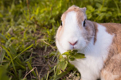 IMG_1722.jpg (ina070) Tags: animals canon6d cute grass outdoor outside pets rabbit rabbits