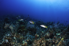school masters swimming over the reef (b.campbell65) Tags: animal beautiful blue caribbean caymanbrac coral diving island isolated marine natural nature ocean reef scuba sea seascape swimming travel tropical underwater water wild wildlife