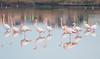 Flamingos (bruvura) Tags: bruvura bruvura74 qaurtu cagliari parco molentargius sardegna sardinia baciatadalamare sea mare colori colours wonderful acqua vancanze seaside vacation holodays beach stagno panorama view magic travel fencotteri flamingos