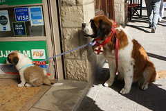 Bariloche (Vicky Victoria Yan) Tags: dog dogs doglover lovedogs winter sanbernardo cute cutie bariloche patagonia argentina