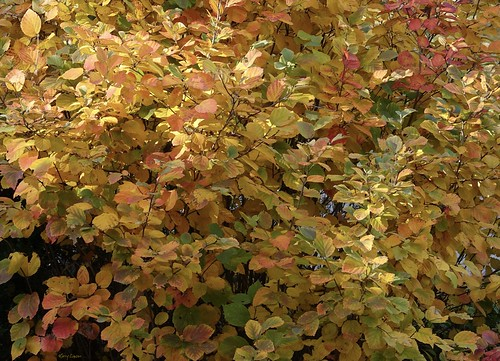 """Leaves of Gold • <a style=""""font-size:0.8em;"""" href=""""http://www.flickr.com/photos/52364684@N03/30811647872/"""" target=""""_blank"""">View on Flickr</a>"""