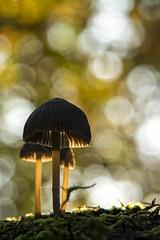 Bokeh & fall (2) (rinus64) Tags: bokeh fall autumn herfst paddenstoel mushroom d7100 nikon 105mm f28 paddestoel