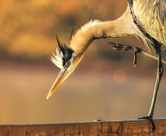Reach (dianne_stankiewicz) Tags: greatblueheron foot nature heron autumn bird