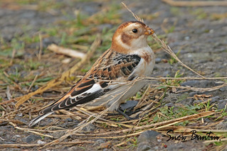 SNOW BUNTING / SOUTH FORELAND LIGHTHOUSE / St MARGARETS BAY / KENT / U.K