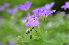 Johnson's Blue (Sandra Kirly Pictures) Tags: johnsonsblue flowers flower botanicalgarden ogrdbotaniczny warszawa warsaw outdoor
