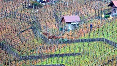Working at a Post-Harvest Vineyard (gps1941) Tags: november fall autumn weinberg