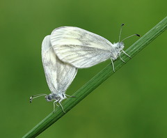 Wood Whites (Mark S Searle) Tags: butterflies