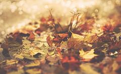 Tango (charhedman) Tags: leaves puddle rain autumn water bokeh