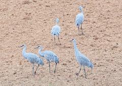 Sandhill Cranes (rpennington9) Tags: bird birds cranes sandhillcranes