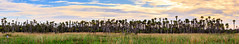 Orlando Wetlands Park Panorama (Michael R Hayes) Tags: orlandowetlandspark pano panorama canon tamron landscape nature sky clouds fall florida fl wildflorida palmtrees paradise parks