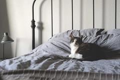 (CarolienCadoni..) Tags: sonyslta99 sal50f14 50mmf14 cat bed bokeh dof