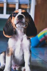 Kevin  - (Lex Arias / LeoAr Photography) Tags: 2016 agiliy animales barquisimeto beagle dog dogagility iglexariasphotos leoarphotography lexarias nikon nikond3100 perro venezuela