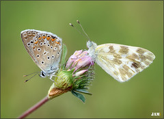 Acariciando sonrisas (- JAM -) Tags: naturaleza flower macro nature insect nikon flor explore jam mariposas d800 insecto macrofotografia explored lepidopteros juanadradas