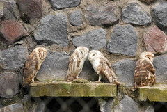 Tyto alba DT [I Parque Condor] (2) (Archivo Murcilago Blanco) Tags: alba strigiformes lechuza tyto tytonidae tirira diegotirira archivomurcielagoblanco