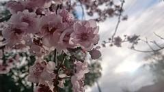 Spring has sprung at Allnut Park, McKinnon - plum blossoms - close (avlxyz) Tags: flowers spring fb sakura plumblossoms