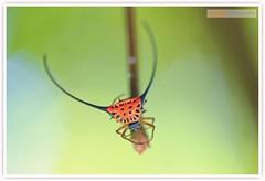 Long Horned Orb Weaver Spider (Vin PSK) Tags: spider long orb weaver horned arcuata macracantha