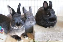 IMG_4480 (Craf'it Cakes) Tags: pet cute rabbit bunny dwarf fluffy netherlanddwarfrabbit purebredrabbit