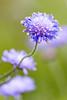 Violet (John P Norton) Tags: flower wales f50 aperturepriority 70300mmf456 stackpoleestate 11250sec focallength220mm nikond750 copyright2015johnnorton