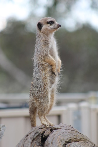 Meerkat at Monarto Zoo