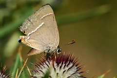 Flavonius quercus (luporosso) Tags: naturaleza macro nature closeup butterfly insect nikon butterflies natura papillon borboleta mariposa farfalla insetto farfalle naturalmente nikond300s